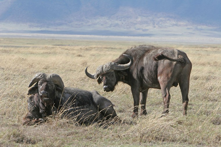 buffalos in the bush