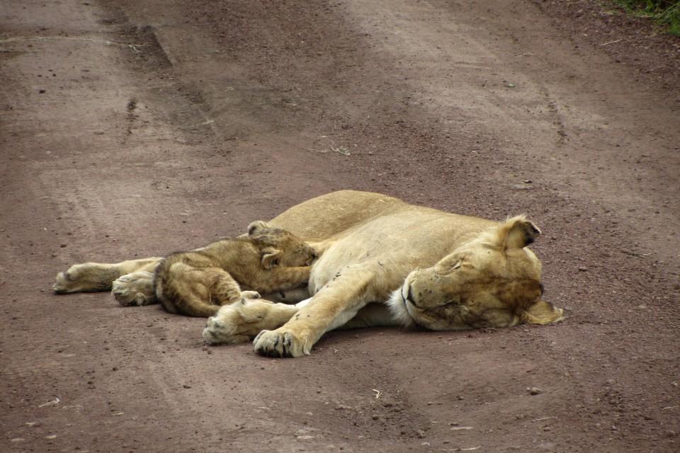 Tanzania lioness and cub