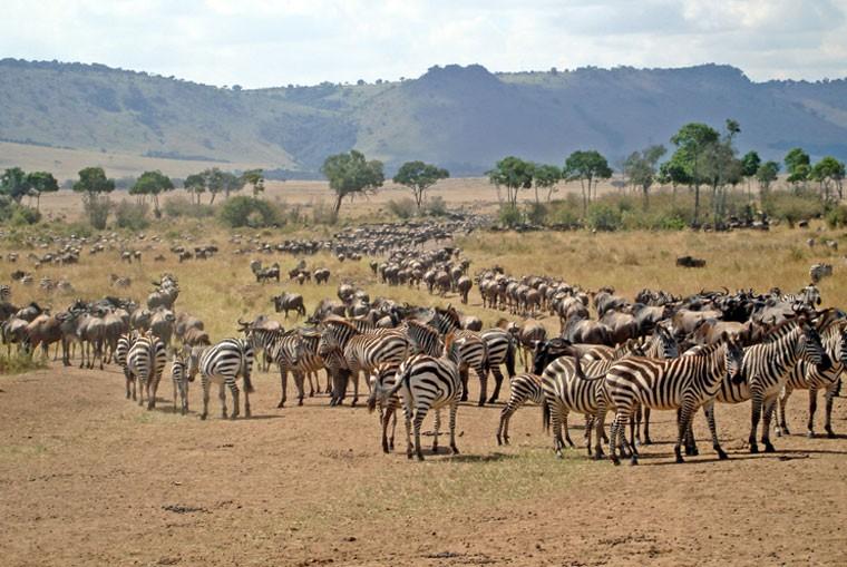 Zebra wildebeest
