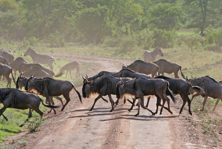 Wildebeest road