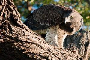 Eagle by Chris Eason