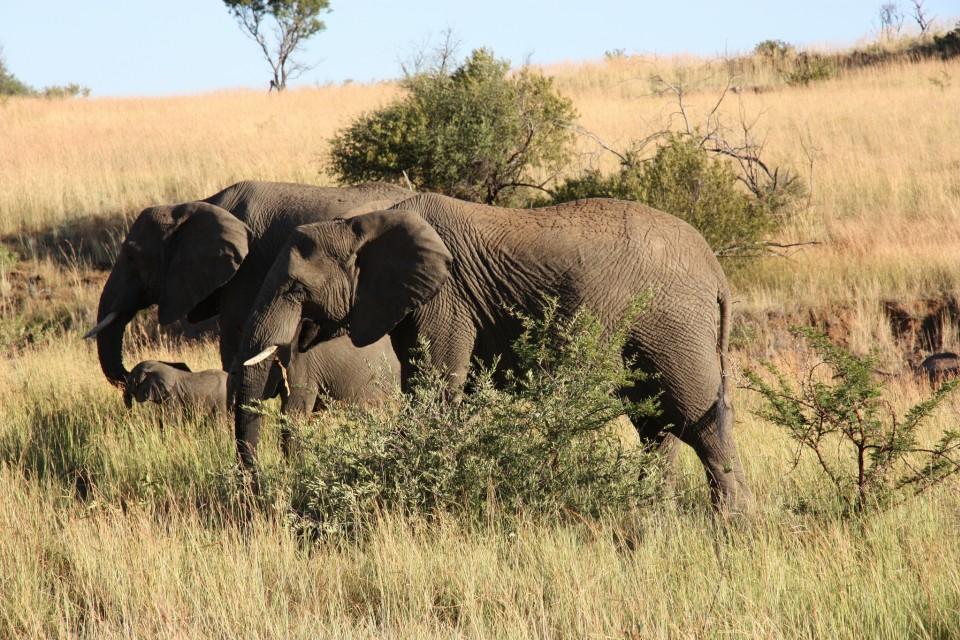 Pilanesberg elephants  by kklay