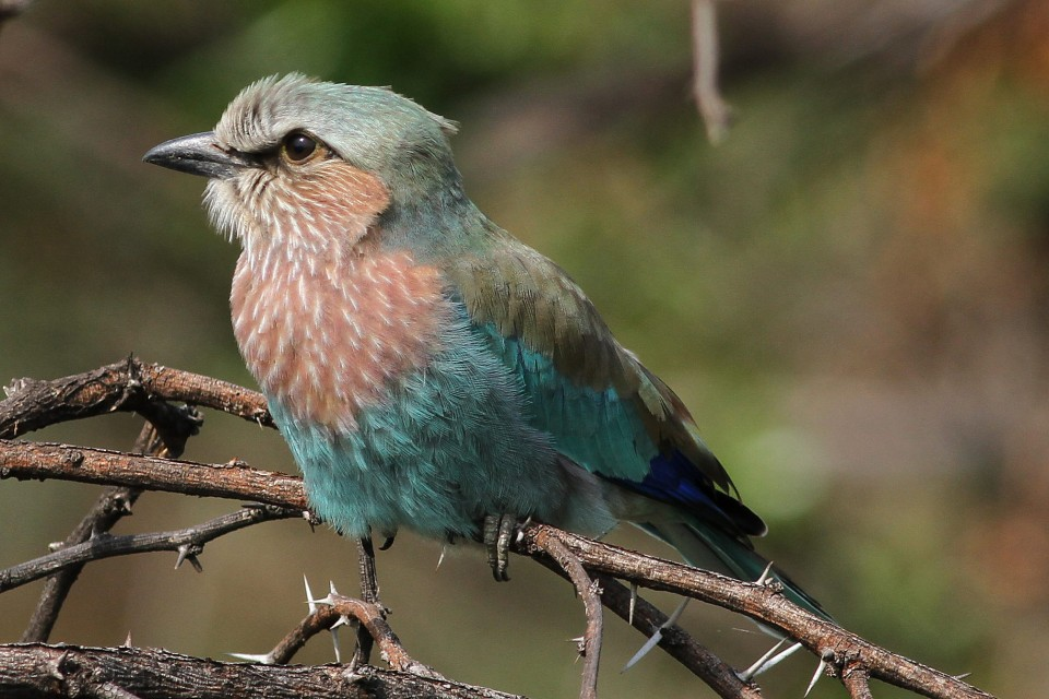 Lilac-breasted roller in Pilanesberg  by Derek Keats