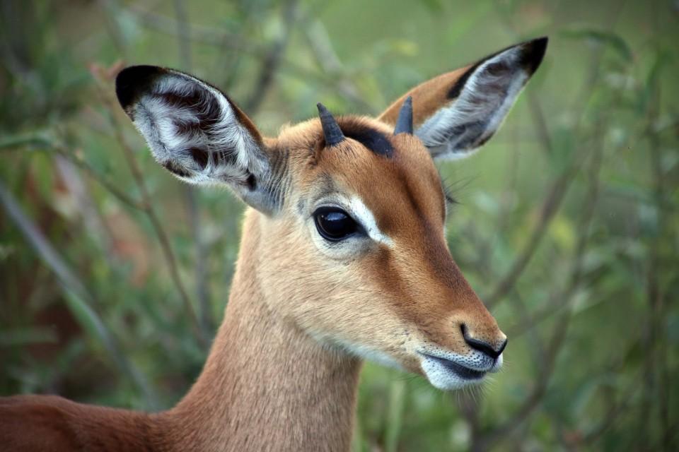 Pilanesberg antelope  by flowcomm