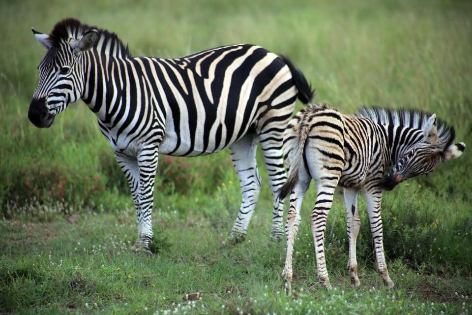 Pilanesberg zebras  by flowcomm