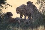 Pilanesberg cheetahs