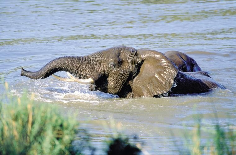 Swimming-elephant