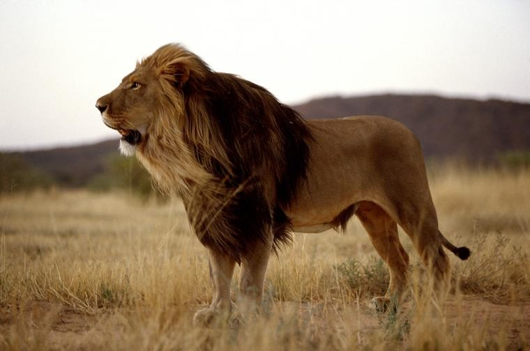Okonjima lion