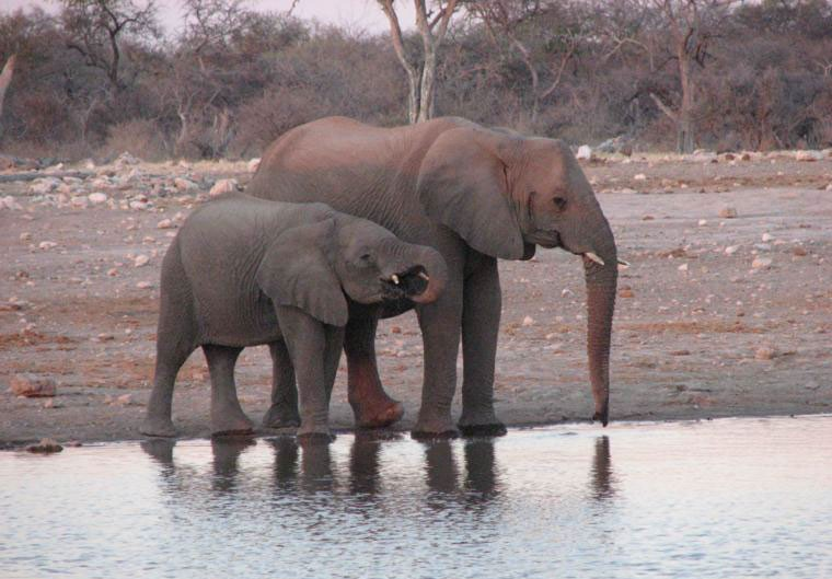 Etsoha elephants