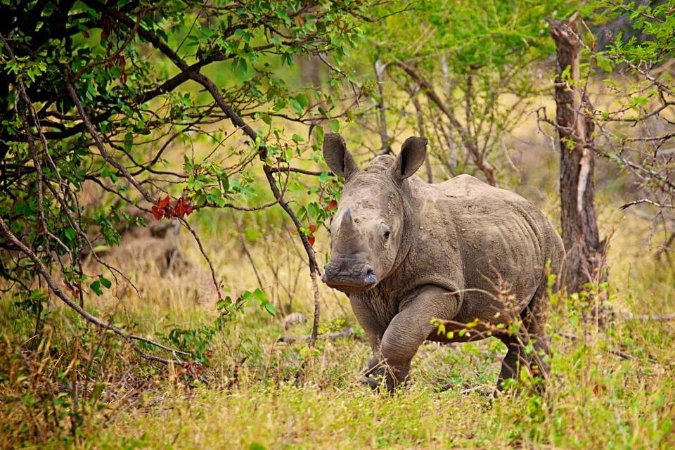 Kruger rhino calf