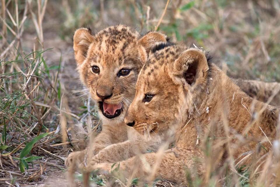 Kruger lion cubs
