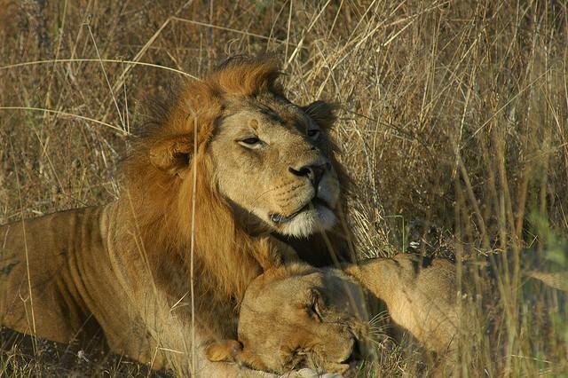 Savuti Lions