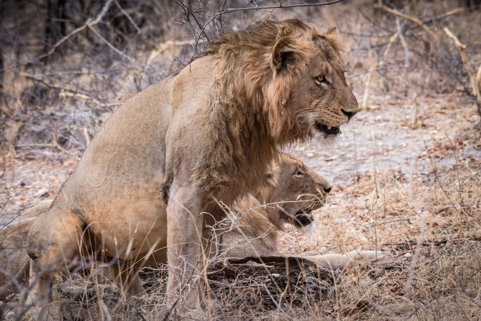 Maseke lions