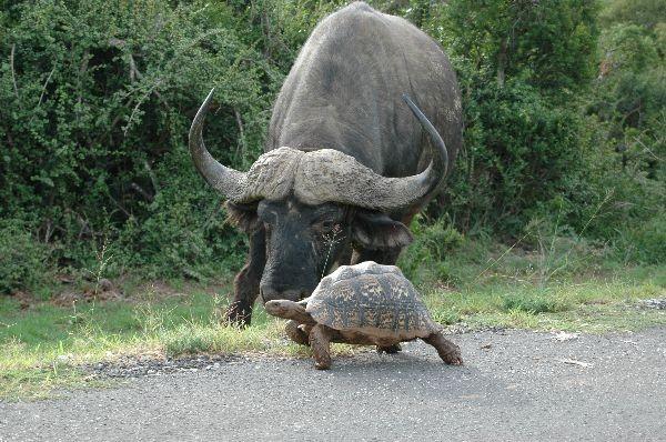 Buffalo & tortoise  by Sundar Raman