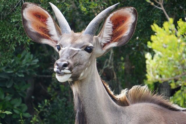 Kudu  by Mario Micklisch