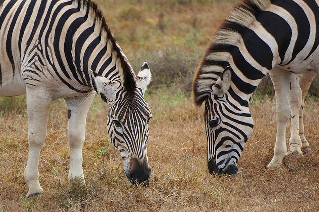 Zebras  by Mario Micklisch