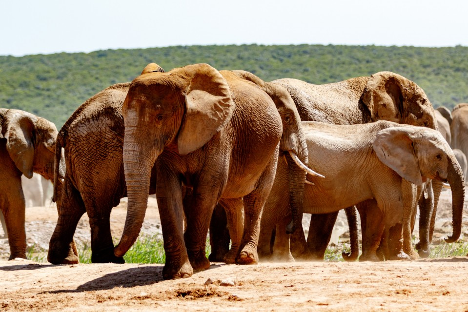 Addo elephant herd  by Mark de Scande