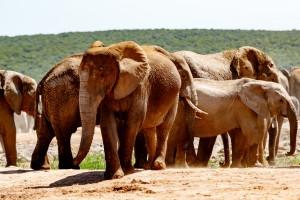 Addo elephant herd by Mark de Scande