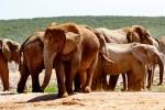 Addo elephant herd