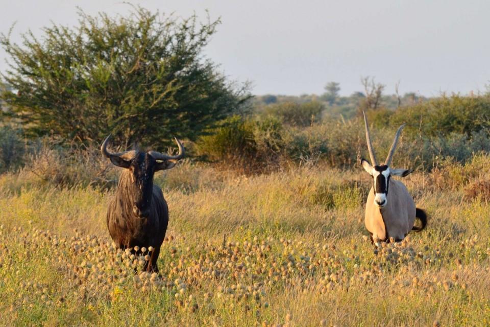 Central Kalahari game