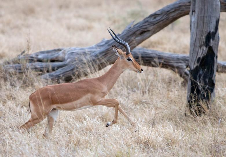 Savuti impala  by Alessandro
