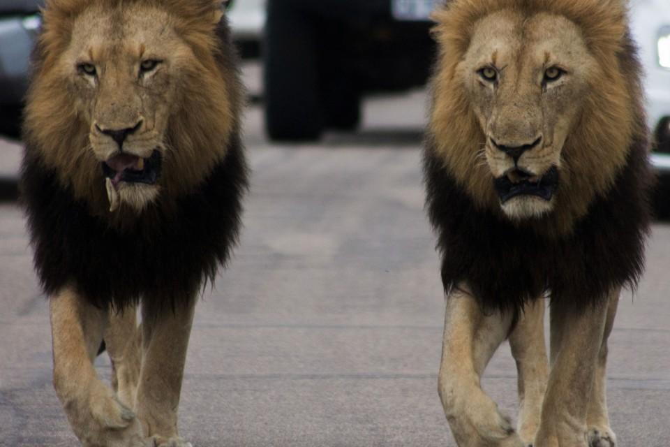Kruger Lions