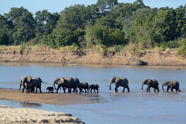 Elephants crossing Luangwa River  by Geoff Gallice
