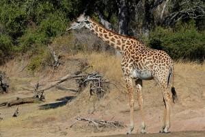 Luangwa giraffe by Geoff Gallice