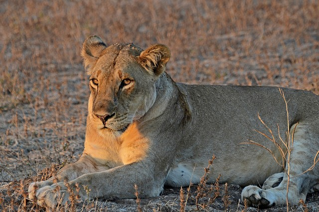Luangwa lion  by Geoff Gallice