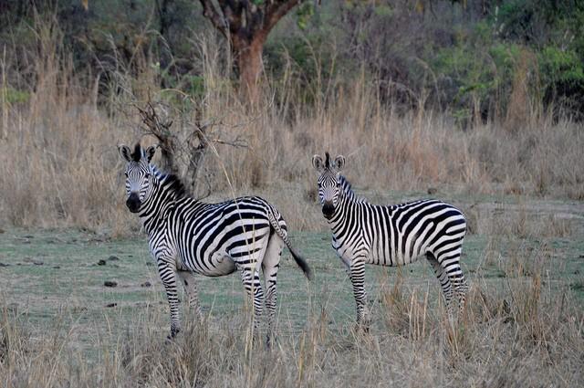 Luangwa zebras  by Laura Kay