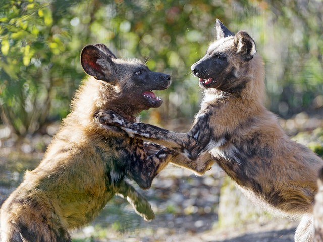 African wild dogs  by Tambako The Jaguar