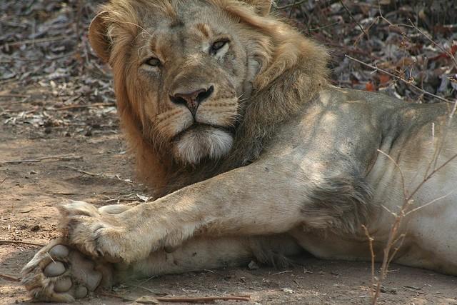 Lower Zambezi lion  by Paul Kane