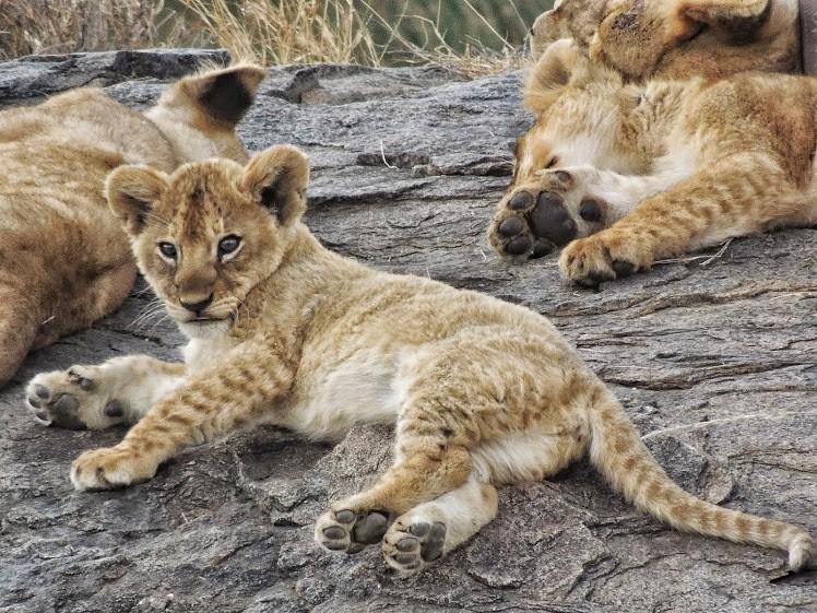 Lions   by Marja Van de Linde