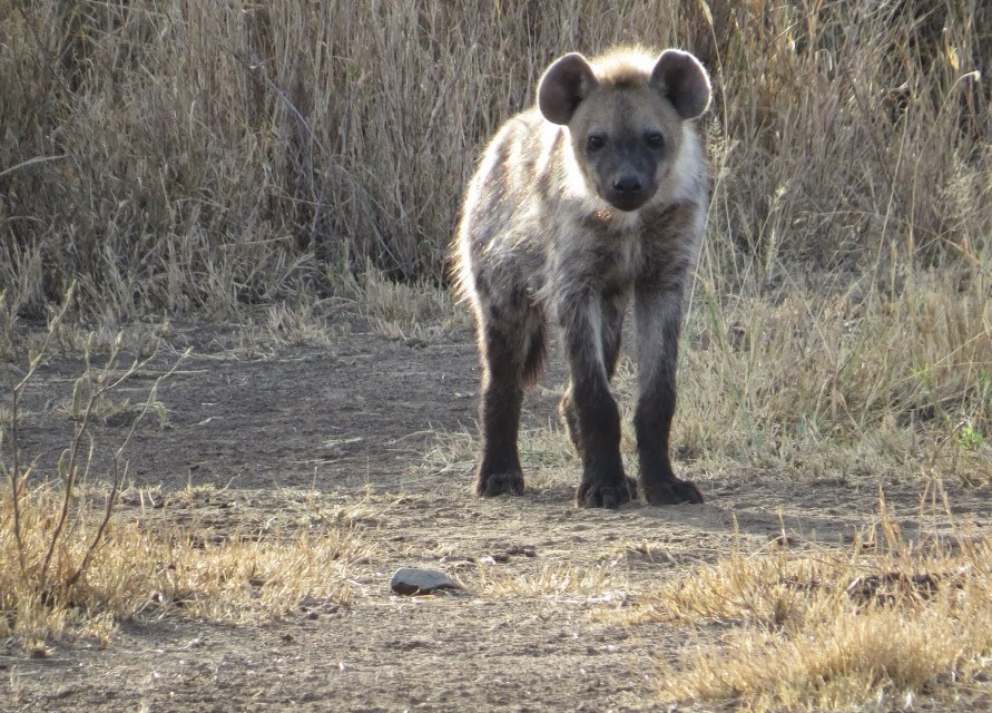 Hyena in Masai Mara  by Andy Leskowitz