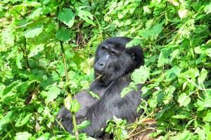 Bwindi gorilla by Andy Leskowitz