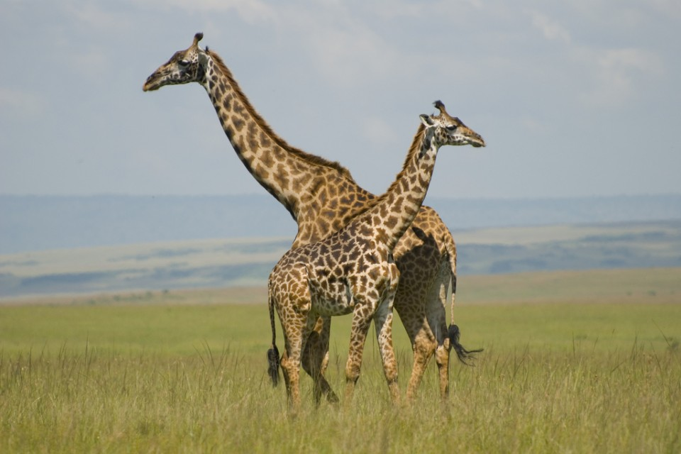 Giraffes in Masai Mara  by Paul Mannix