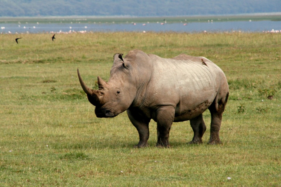 Rhino at Lake Nakuru  by .waldec