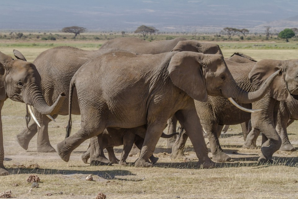Elephants of Amboseli National Park  by Benh Lieu Song