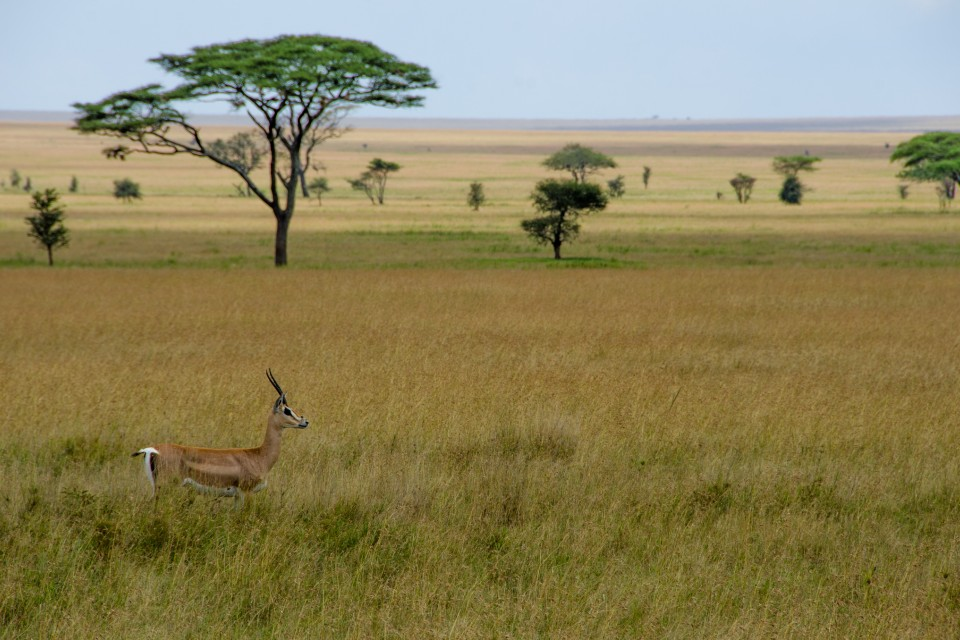 Grant's gazelle in Serengeti  by Colin J. McMechan