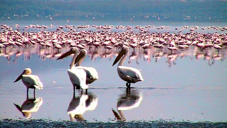 Flamingos at Lake Nakuru  by Dan Heap