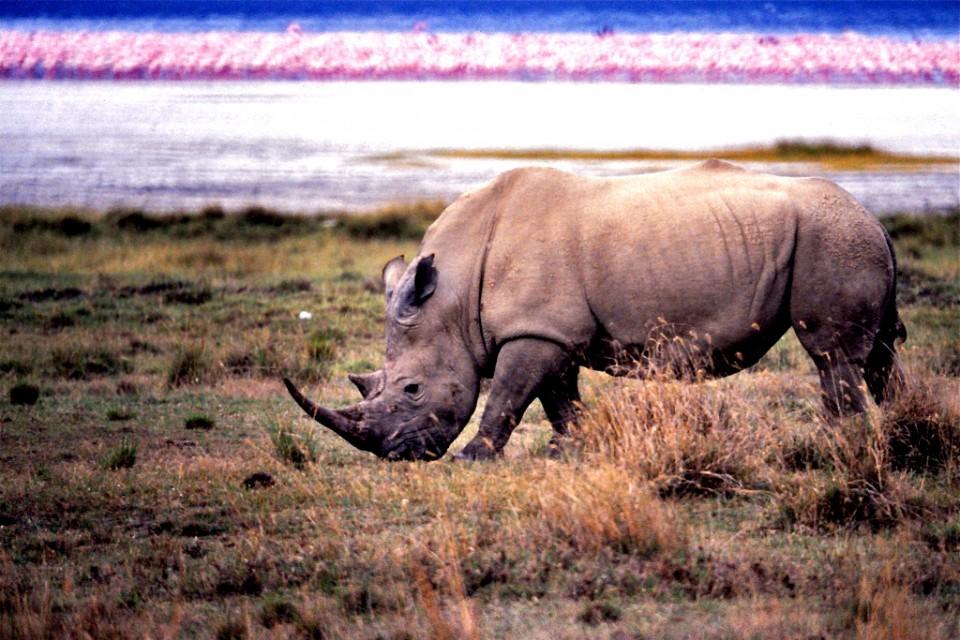 Lake Nakuru rhino  by Bernard Dupont