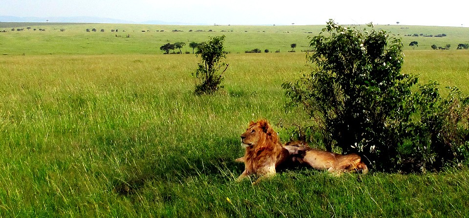 Masai mara lions  by Stephen Kennedy