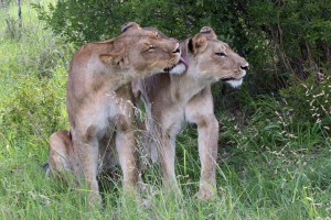 Moremi lions by Lip Kee Yap