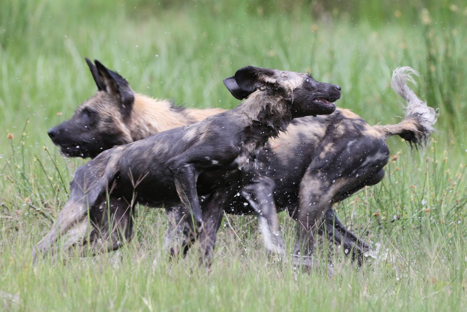 Wild Dogs in Khwai  by Lip Kee Yap