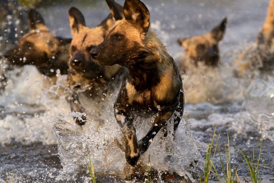 Wild dog pack in Khwai