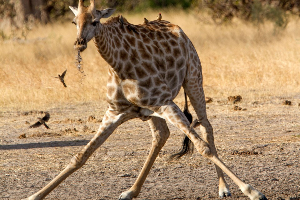 Giraffedrinking
