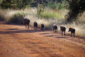 Kruger warthogs by Heribert Bechen