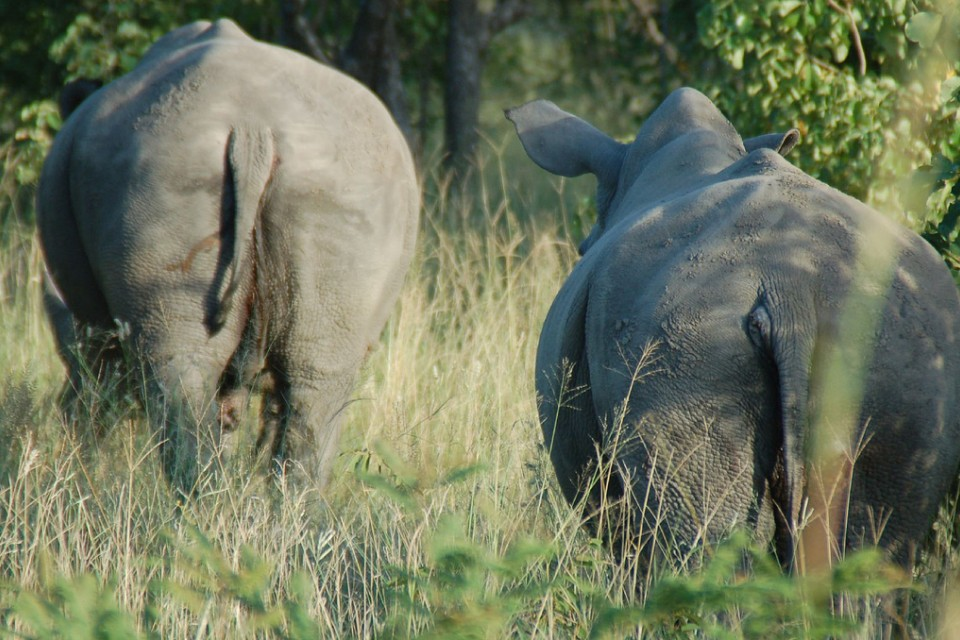 Rhinos walking away into the grass.  by Joe Ross