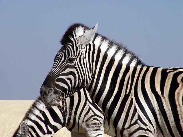 Zebra  by Damien du Toit