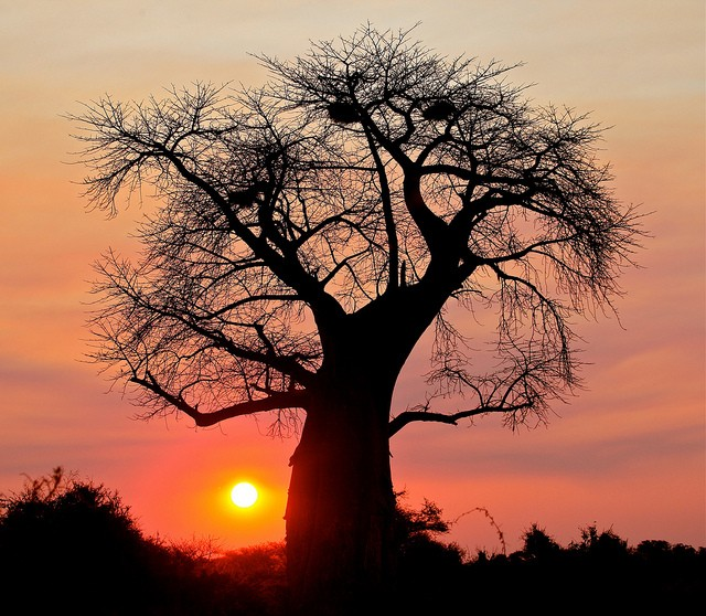 Baobab  by Steve Jurvetson